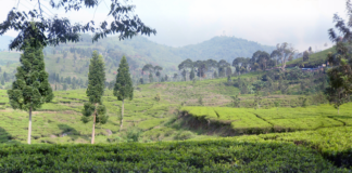 Tea Plantation at Puncak