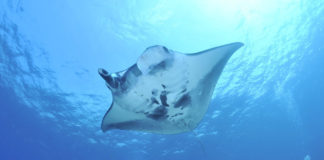 manta-ray-xelexicom-diving