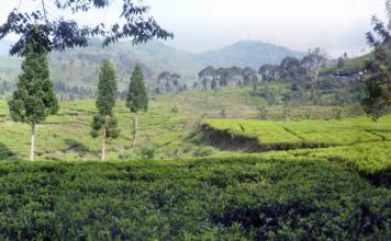 Tea Plantation at Puncak
