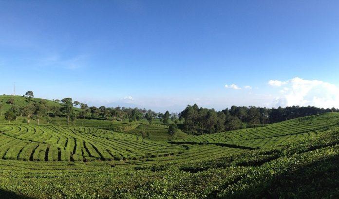 tea-valley-bandung