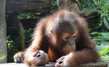 attractions-malaysia-kinabalu-orangutan